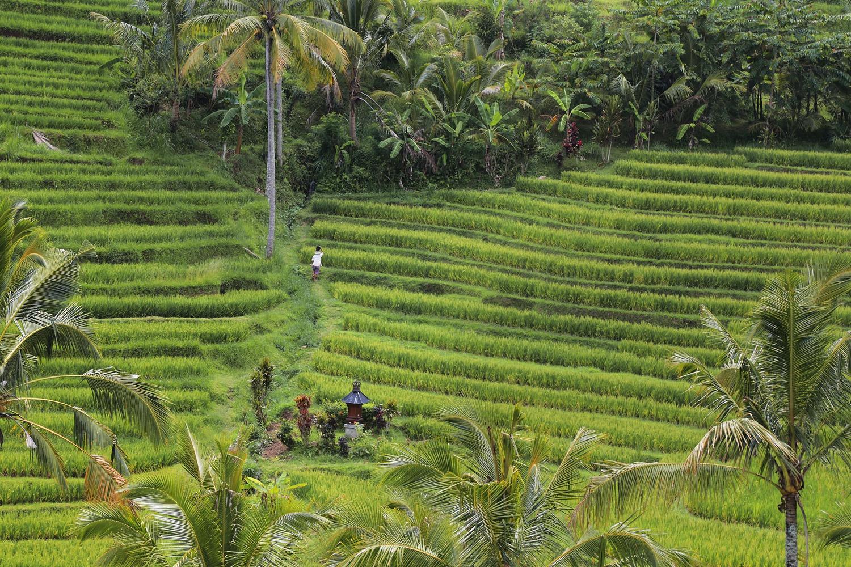 jatiluwihE Rices Terraces,  Jatiluwih,  Bali, Indonesia, 2016