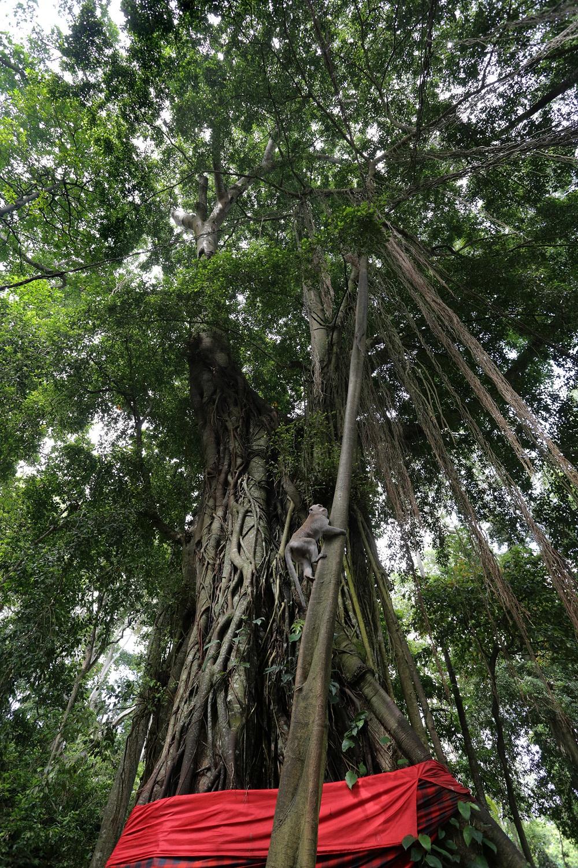 monkeytree Monkey Forest,  Ubud, Bali, Indonesia, 2016