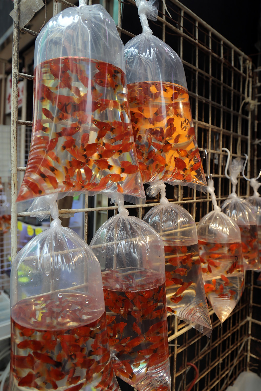 17-goldfish