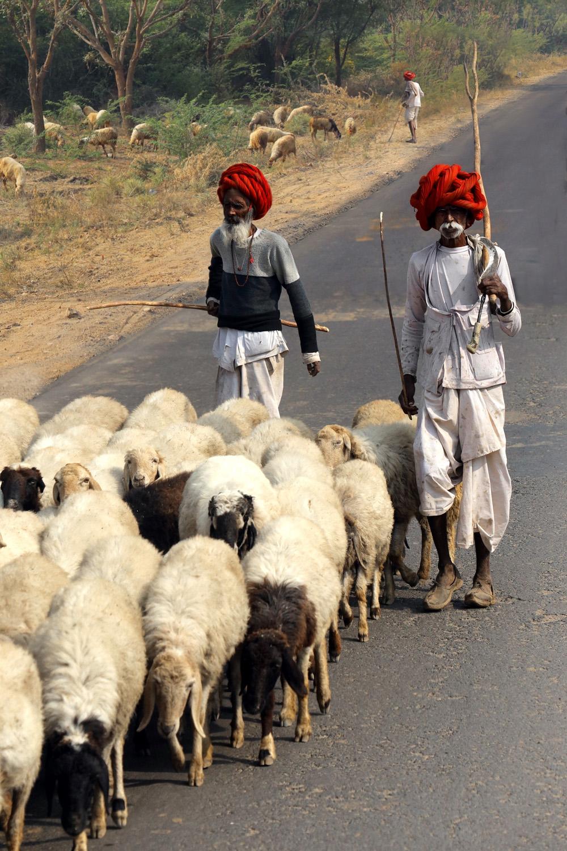 18-shepherds