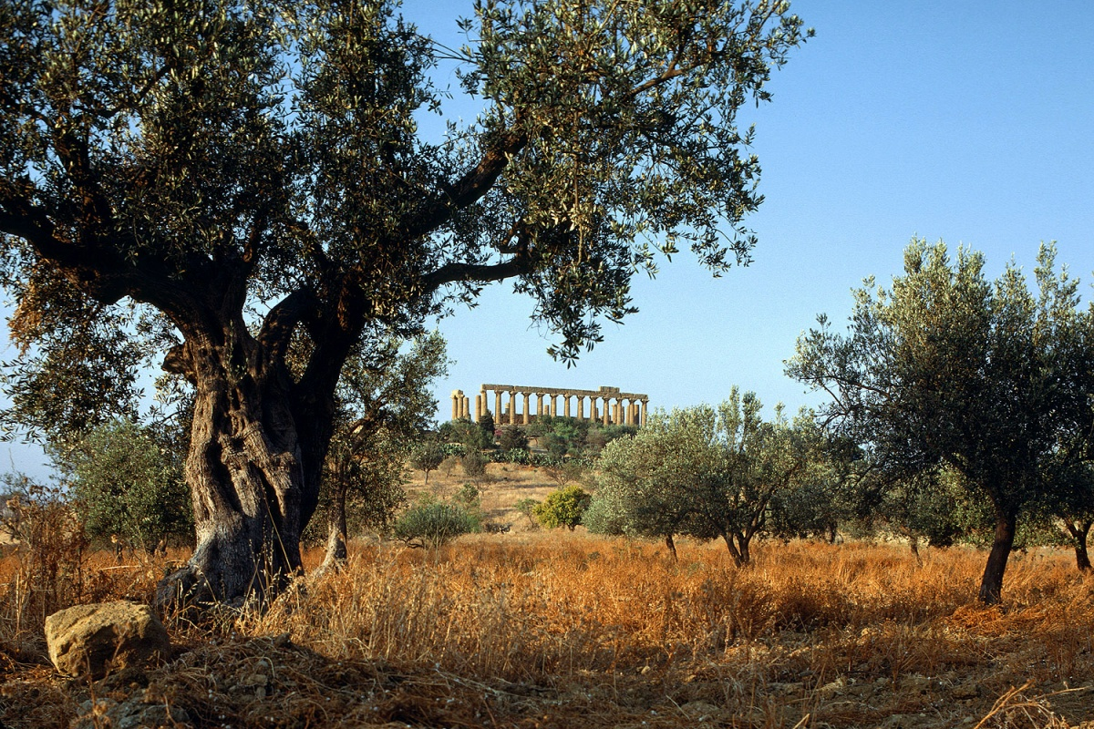 olivetemple Olive and Temple, Agrigento, Sicily, 1984