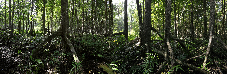 mangrove Mangroves,  Malaysia, 2014