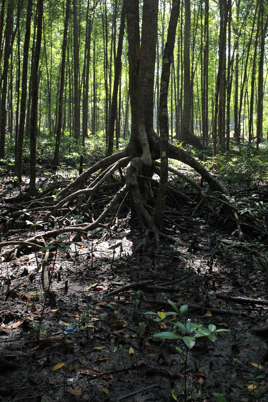 mangroveB
