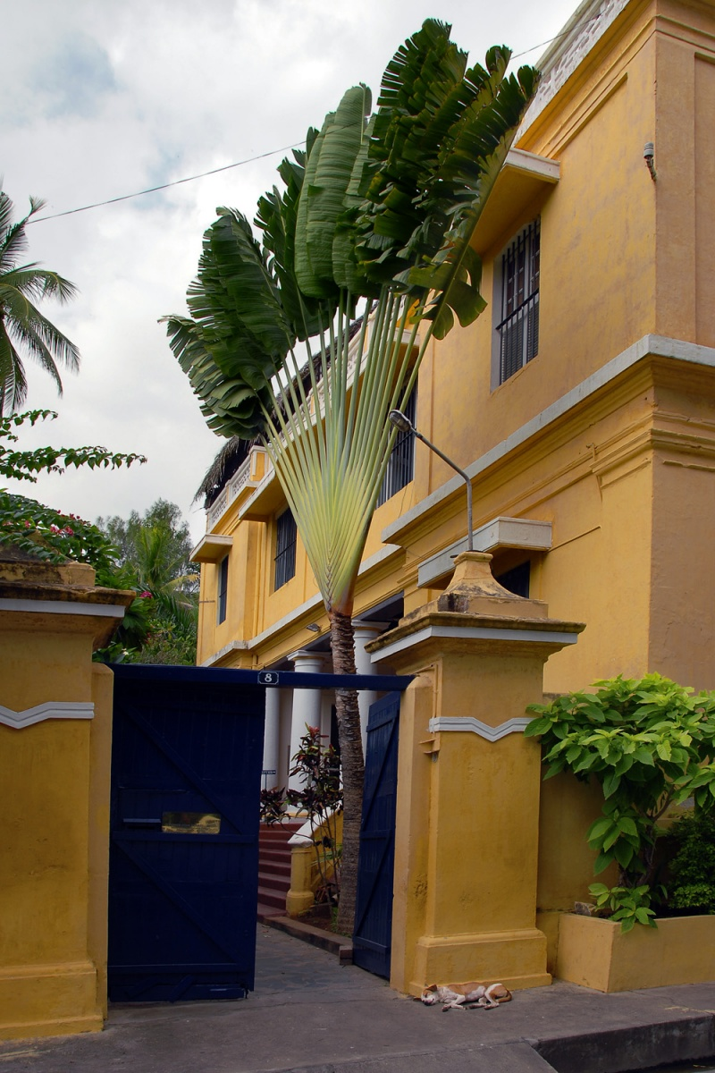 fanpalm Fan Palm,  Pondicherry, Inida, 2007