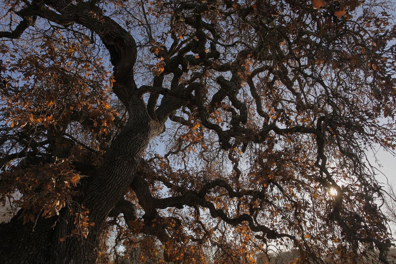 gnarlyoakB Atherton, California, 2013